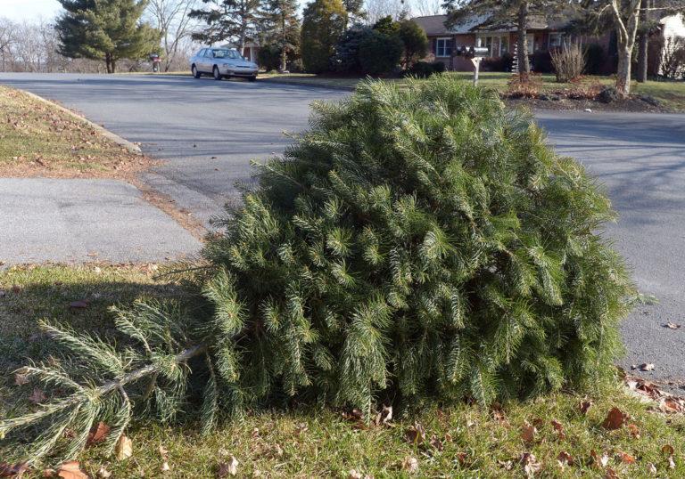 christmas tree on curb