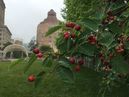 serviceberries tree photo with Asheville City Hall in the background