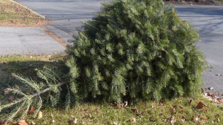 christmas tree on curb for pickup