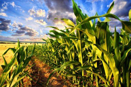 crop of corn growing
