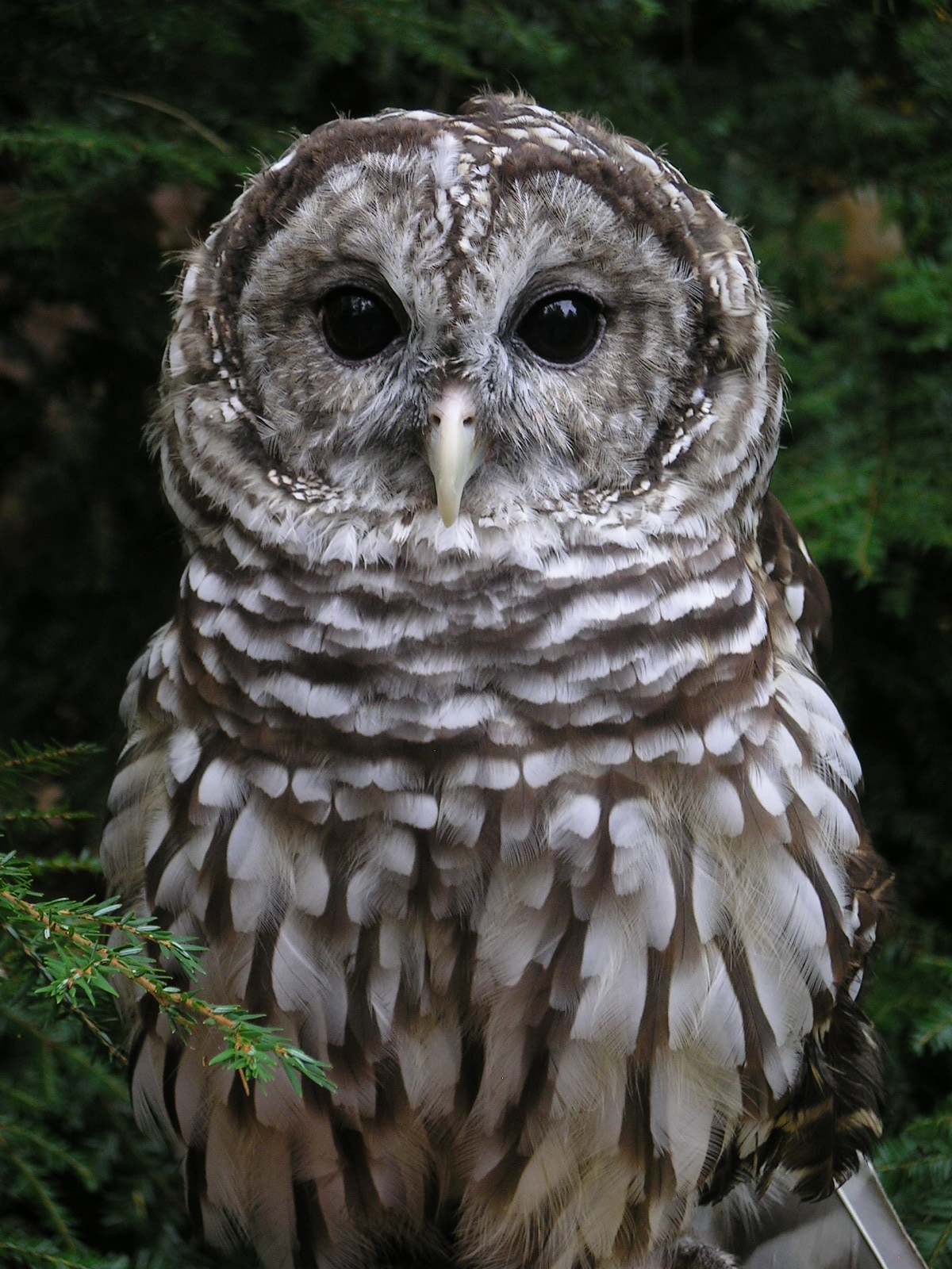 Artemis the owl