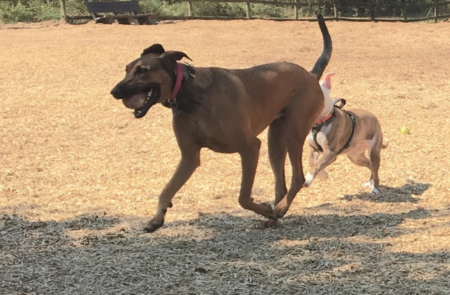 Image of dogs playing at park