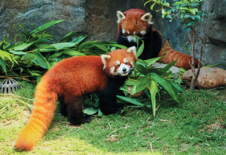 photo of 2 Red pandas