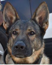 photo of Asheville Police K9 Officer Bolo