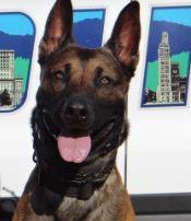 photo of Asheville Police K9 Officer Django