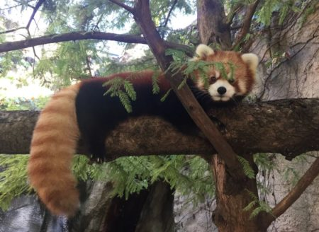 photo of Leafa the Red Panda in a tree