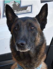 Photo of Asheville Police K9 Officer Yago