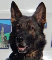phot of Asheville Police K9 Officer Boss