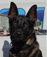 photo of Asheville Police K9 Officer Rambo