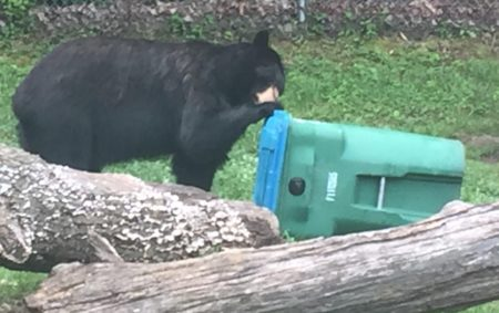 bear and trashcan photo