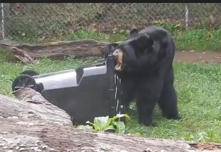bear bites trash cart