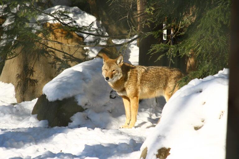 Barney Coyote